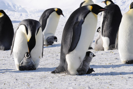 Risultato immagini per Pinguini in rischio di estinzione l'allarme di Greenpeace