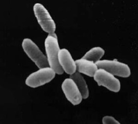 halobacterium