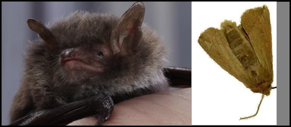 pipistrello e tarma della cera